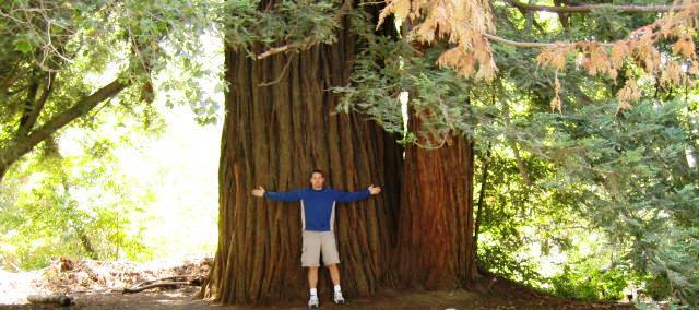 redwood trees bruksområde